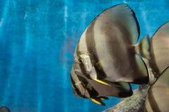 Stängt upp av TEIRA-BATFISH på akvariet Arkivbild