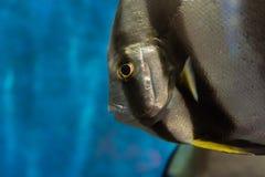 Stängt upp av TEIRA-BATFISH på akvariet Royaltyfria Foton