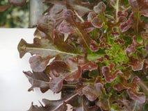 Stängt upp den hydroponic grönsaken arkivbild