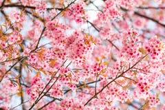 Stängt upp den lösa Himalayan körsbäret i Thailand Arkivfoton
