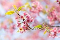 Stängt upp den lösa Himalayan körsbäret i Thailand Royaltyfria Foton