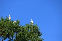 Stängt upp fåglar för kustfågel i ett träd, mellanliggande ägretthägerområdesintermedia, Nepal arkivbild