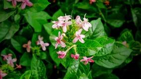 Stängt upp rosa blommor Royaltyfria Bilder