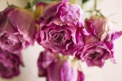 Stängt upp torkade rosa rosor Arkivbild