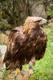 Stäpp Eagle en guld- örn på grön bakgrund Fotografering för Bildbyråer