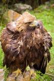 Stäpp Eagle en guld- örn på grön bakgrund Royaltyfri Bild
