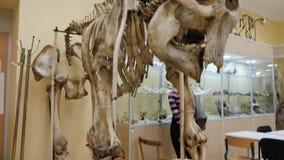 Stäppbison eller bisonpriscusskelett i museum Skelett av en buffel på museet stock video