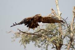 Stäppen Eagle är en fågel av rovet som av tar bikaner Royaltyfria Foton