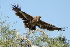 Stäppen Eagle är en fågel av rovet som tar av Arkivbilder