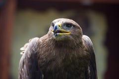 Stäppen Eagle, den Aquila nipalensisen, detalj av örnar head Royaltyfri Fotografi