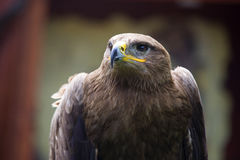 Stäppen Eagle, den Aquila nipalensisen, detalj av örnar head Royaltyfri Bild