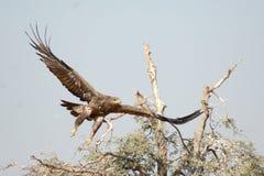 Stäppen Eagle tar av Jorbeer outskirt BIKANER Royaltyfri Fotografi