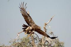 Stäppen Eagle tar av Jorbeer outskirt BIKANER Arkivfoto