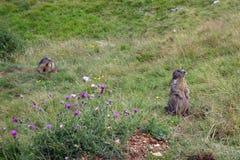 Stäppmurmeldjur på Monte Baldo arkivfoto