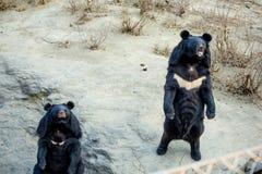 Stå björnen Arkivbilder
