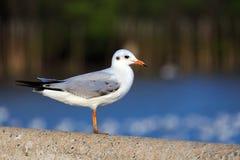 Stå den stilla seagullen Arkivbild