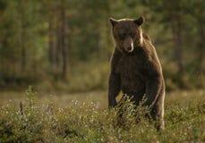 Stå för brunbjörn Arkivbilder