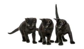Stå för tre svart kattungar som ner ser, 2 gamla månader Royaltyfria Bilder