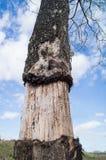 Stå för Tree som är dött Royaltyfri Foto