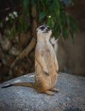 Stå meerkat arkivfoto