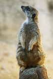 Stå meerkat Arkivbilder