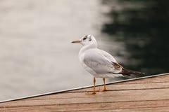 Stå seagull Arkivfoton