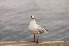 Stå seagull Royaltyfria Foton