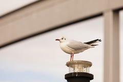 Stå seagull Royaltyfri Foto