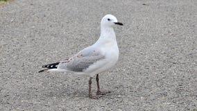 Stå seagull Royaltyfri Fotografi