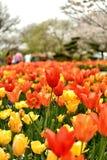 Stå ut den röda tulpan fotografering för bildbyråer