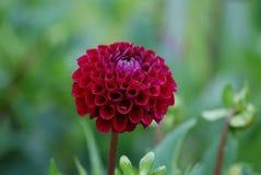 Stå ut från folkmassan - Diva - vin färgade Dahlia Blossom royaltyfri foto