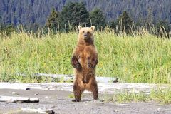 Stående övre för brunbjörn så kan hon se hennes två gröngölingar arkivbilder