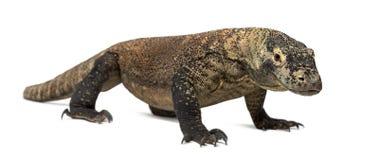 Stående övre för Komodo drake, isolerat på vit arkivfoton