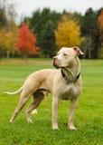 Stående amerikanPit Bull Terrier hund Arkivbilder