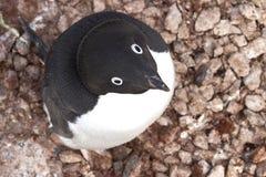 Stående av Adelie pingvinsammanträde i redet Arkivfoto