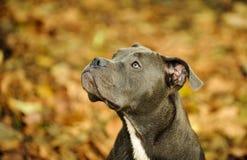 Stående av amerikanen Pit Bull Terrier Royaltyfri Bild