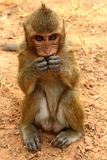 Stående av apan på Angkor Fotografering för Bildbyråer