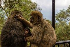 Stående av apor, Gibraltar stad Royaltyfri Fotografi