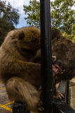 Stående av apor, Gibraltar stad Arkivfoton