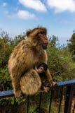 Stående av apor, Gibraltar stad Royaltyfri Bild