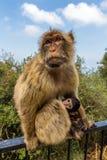 Stående av apor, Gibraltar stad Royaltyfria Foton