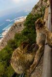 Stående av apor, Gibraltar stad Arkivbilder