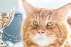 Stående av att förbluffa stora roliga röda Maine Coon Cat med stora guld- ögon på ljus bakgrund Royaltyfri Fotografi