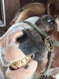 Stående av att le för häst Arkivbilder