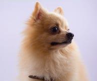 Stående av att sitta pomeranian den isolerade spitzhunden på vit backg Arkivbild