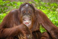 Stående av att skratta för orangutang (Pongopygmaeus) fotografering för bildbyråer