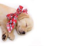 Stående av att sova hunden, golden retrievervalp Arkivfoton