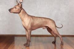 Stående av att stå hårlöst för vuxen Xolotizcuintle hund mexicanskt manligt standart format i showutbildning med hanlder härlig h arkivbild