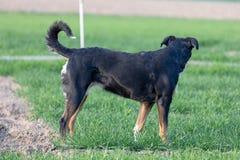 Stående av att stå tricolor appenzellerberghunden åt sidan i sommar arkivfoto