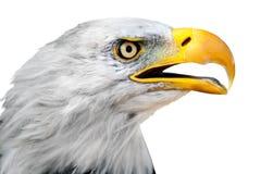 Stående av Bald Eagle som isoleras på vit Royaltyfri Bild